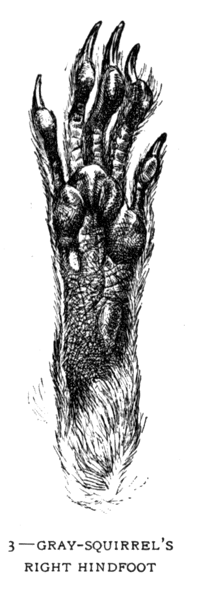 3 – GREY-SQUIRREL'S RIGHT HINDFOOT