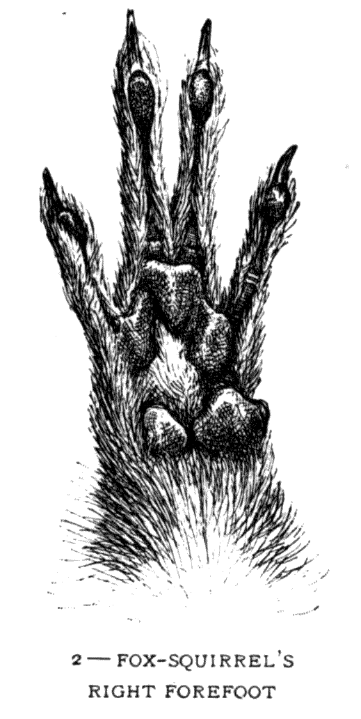2 – FOX-SQUIRREL'S RIGHT FOREFOOT