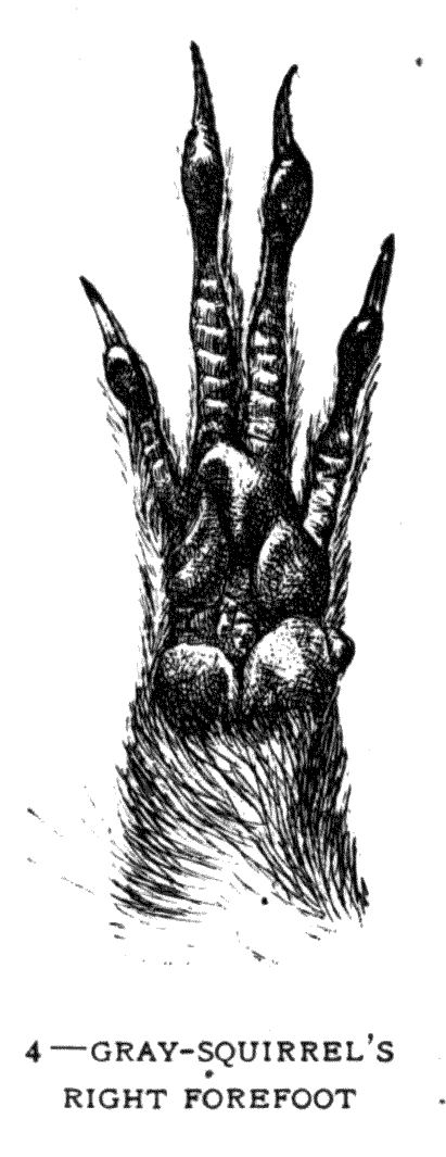 4 – GREY-SQUIRREL'S RIGHT FOREFOOT