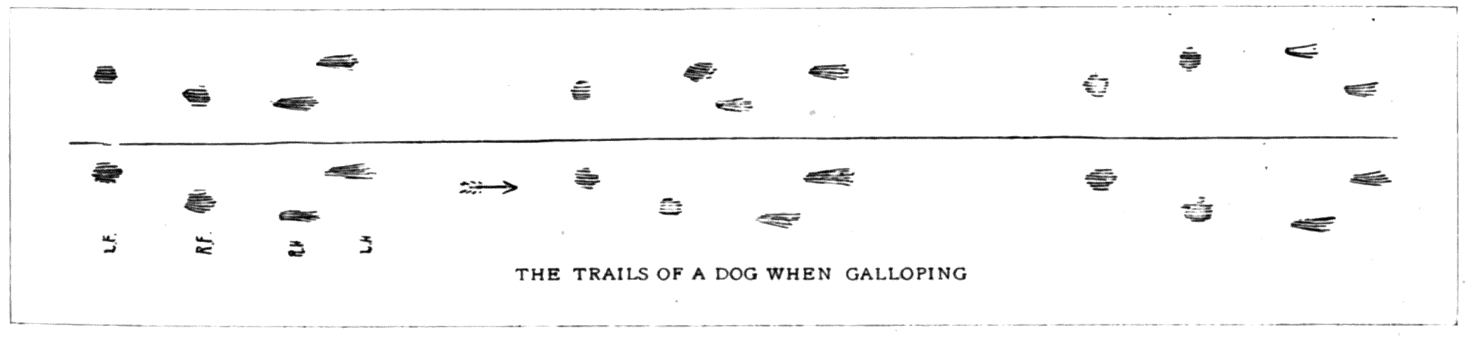 THE TRAILS OF A DOG WHEN GALLOPING