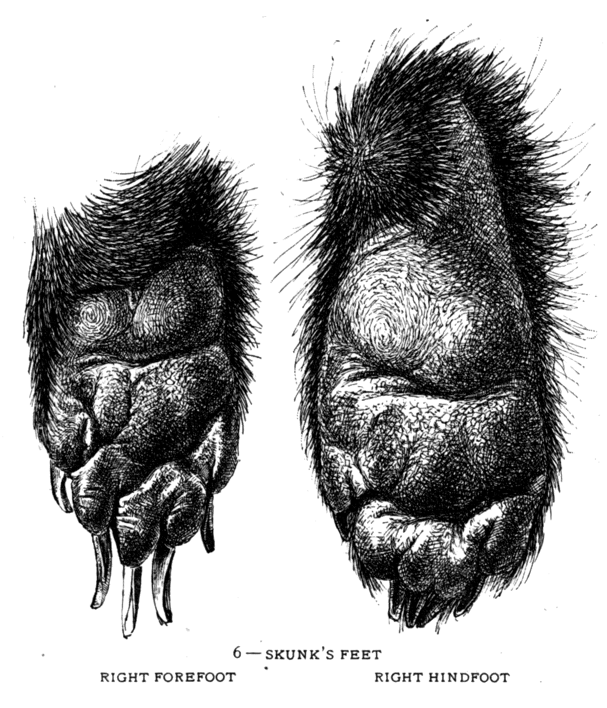 6 – SKUNK'S FEET (LEFT) RIGHT FOOT) AND (RIGHT) RIGHT HINDFOOT