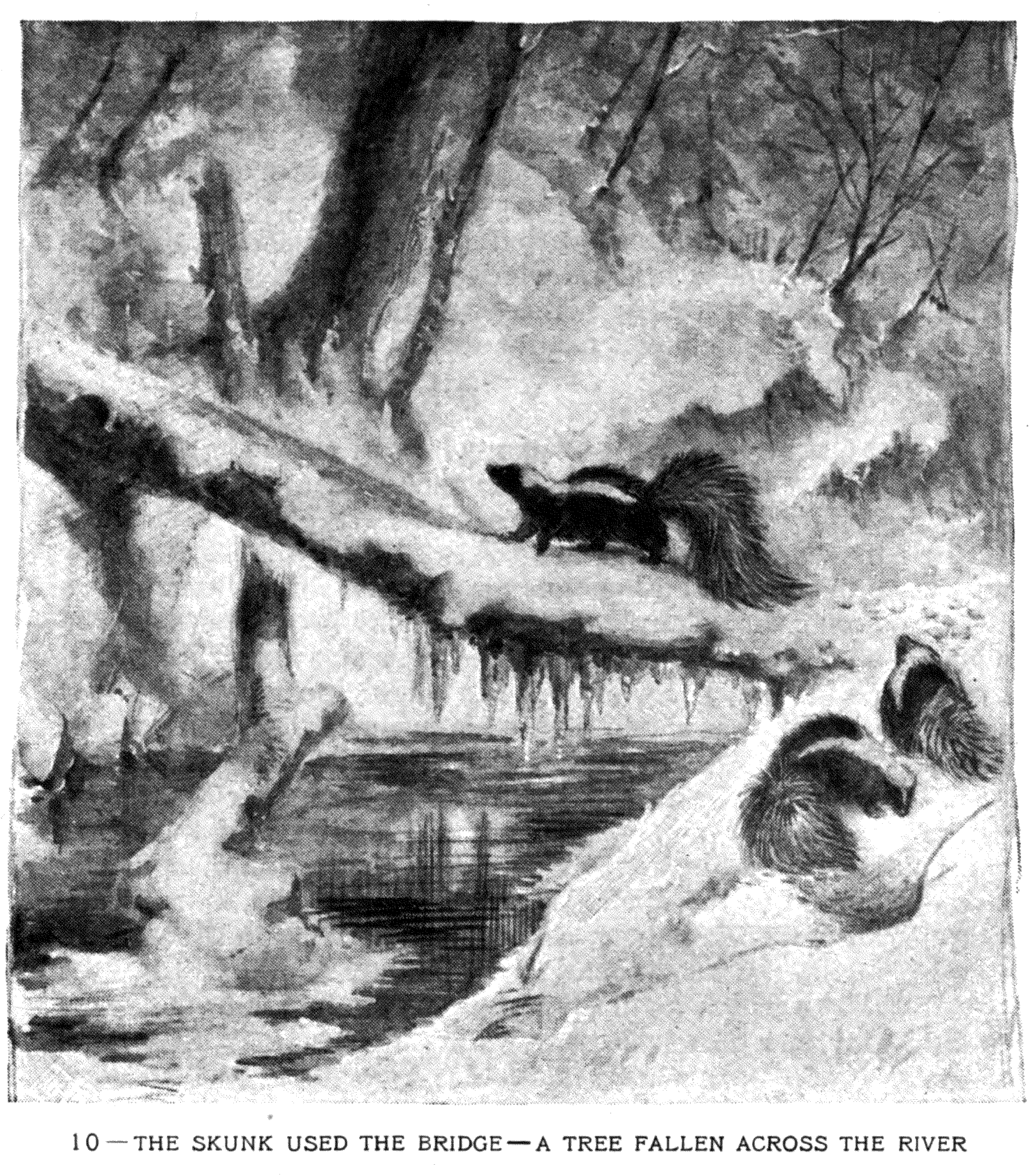10 – THE SKUNK USED THE BRIDGE – A TREE FALLEN ACROSS THE RIVER
