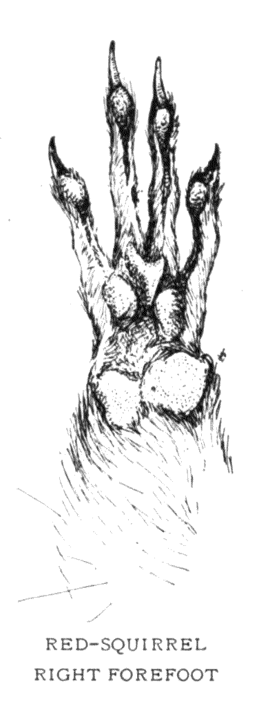 RED-SQUIRREL RIGHT FOREFOOT